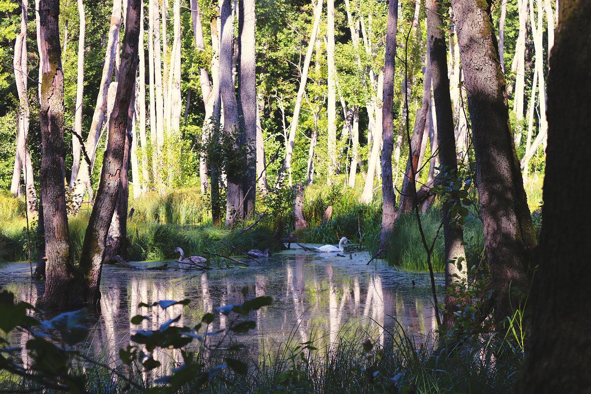 Wanderung Briesetal Bäume im Wasser Schwäne